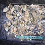 louisiana oyster 1