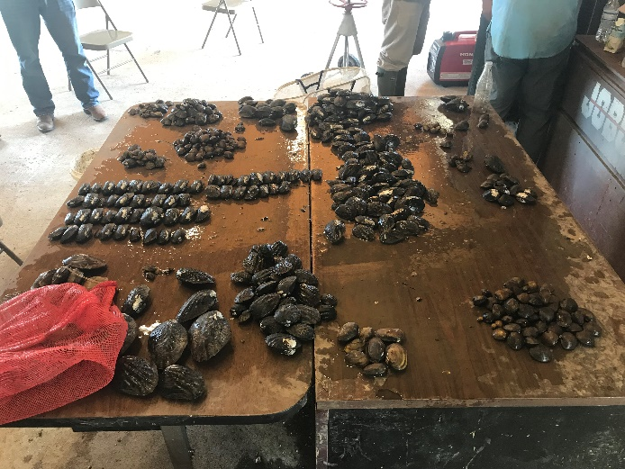 About 13,450 mussels from 24 different species were relocated, including state-threatened species suchs as Louisiana Pigtoe (Pleurobema riddellii), Sandbank Pocketbook (Lampsilis satura), and Texas Pigtoe (Fusconaia chunii).